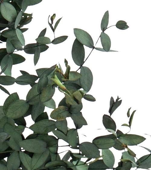 Getrocknete Buchsbaum-Zweige - 75-85 cm